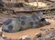 świnia w blocie