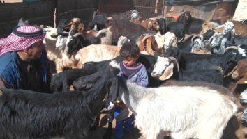 karmienie kóz
