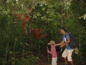 karmienie orangutana