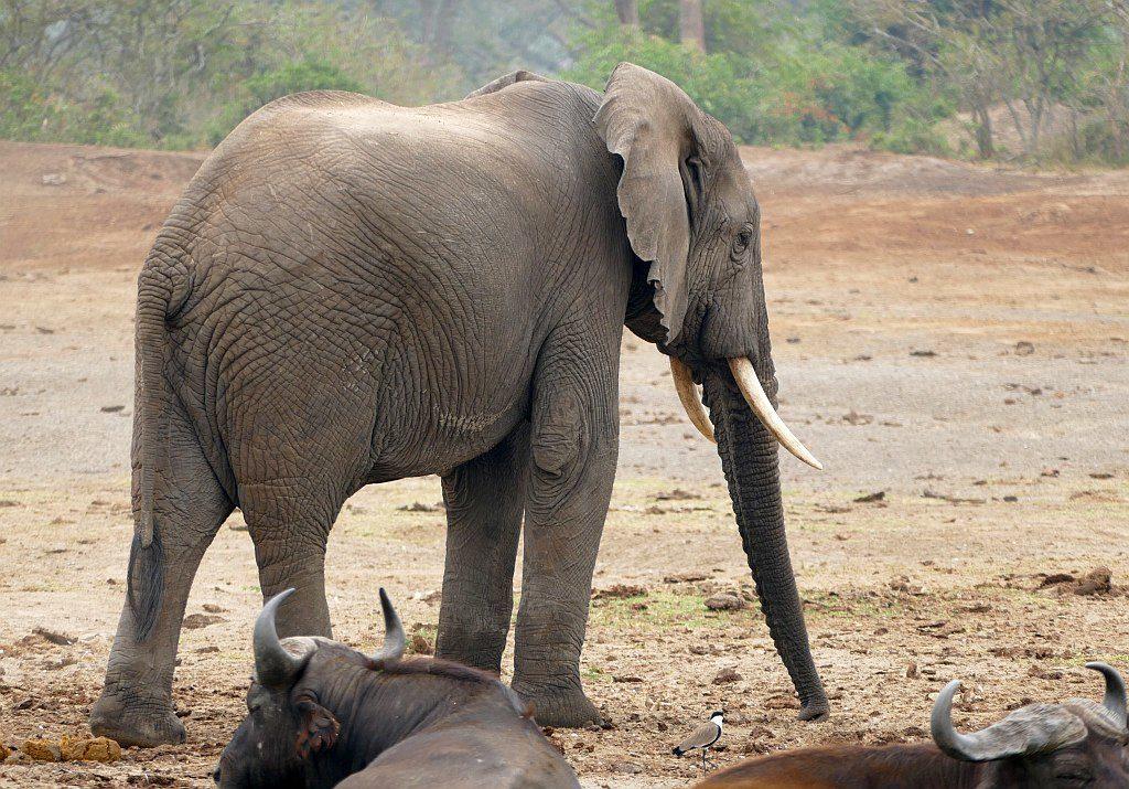 sloń afrykański