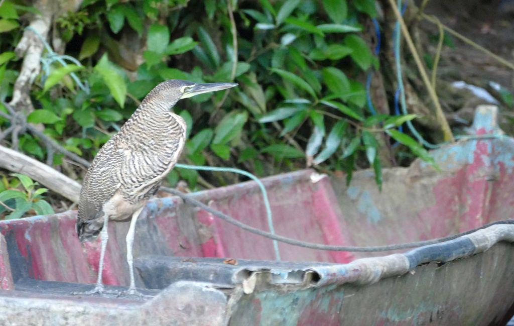 Tortuguero, ptak nałodzi