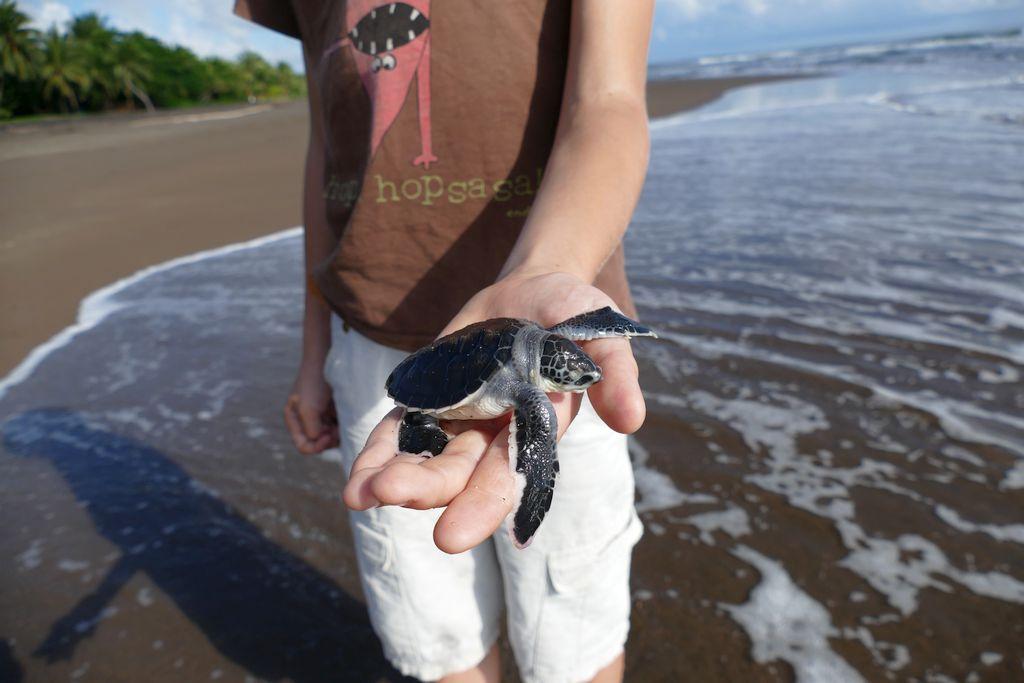 Tortuguero, żółw naplaży