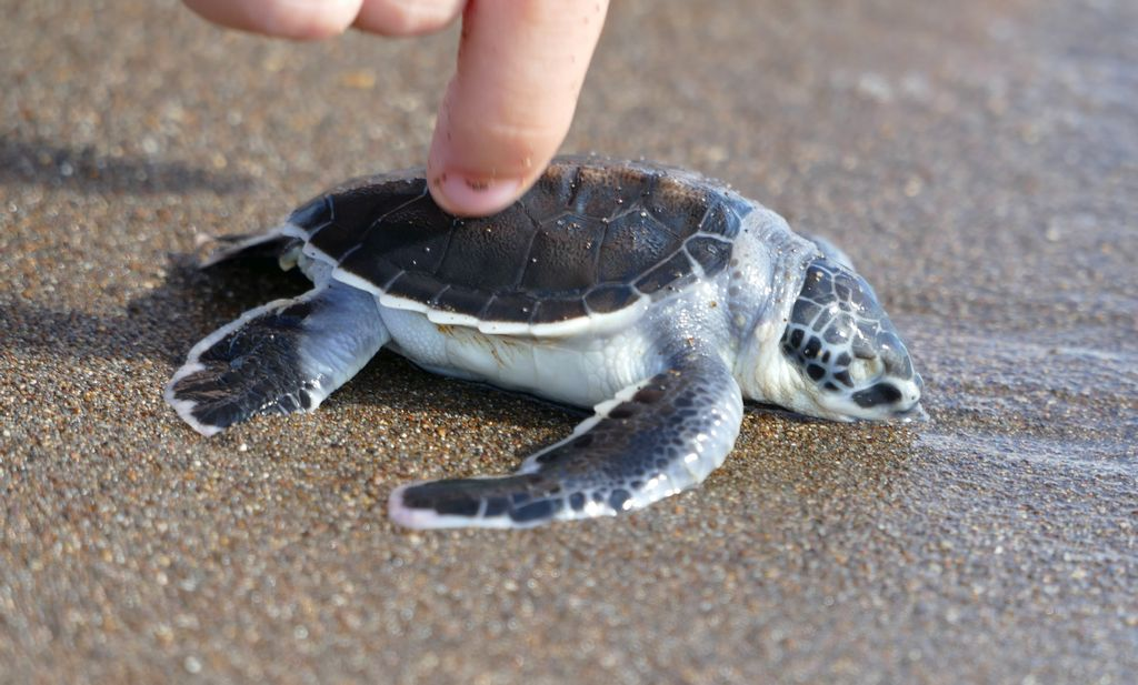 Tortuguero, plaża, żółw