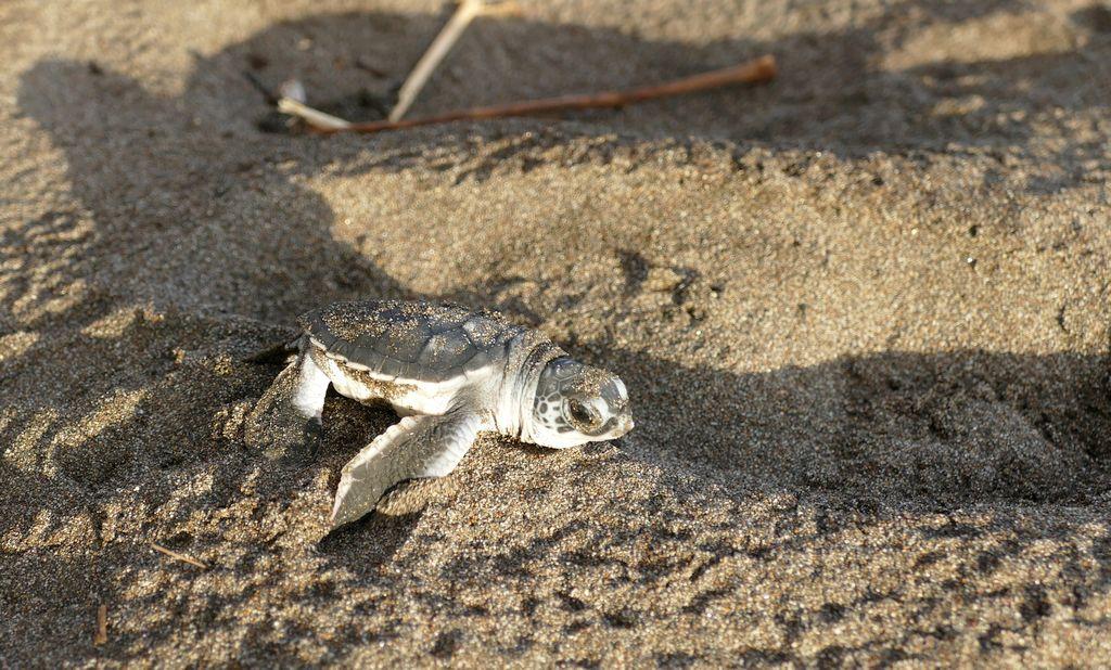 Tortuguero, żółwik